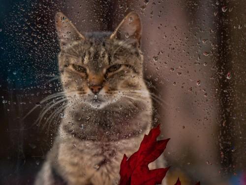 雨を見つめる猫
