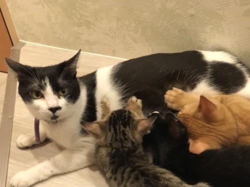 代理母猫とおっぱいを飲む子猫たち