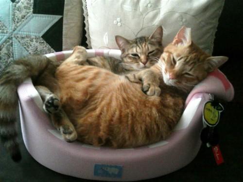 猫ベッドで2匹ぎゅうぎゅう詰め