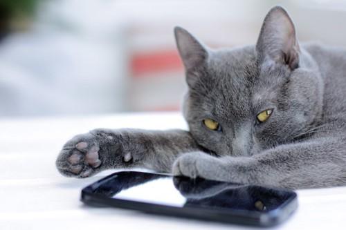 携帯のそばでくつろぐグレーの猫