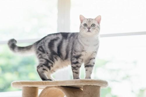 キャットタワーの上を歩く猫