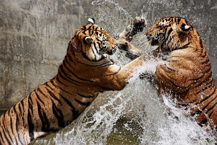 二匹の虎のけんか