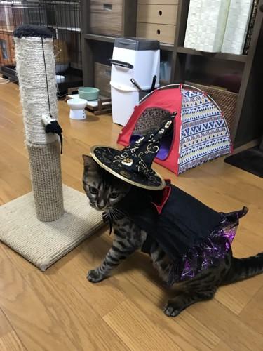 魔女の帽子とマントを付けて振り返る猫