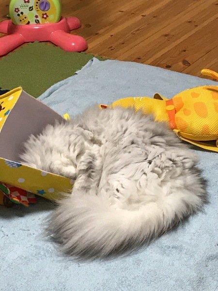 空き箱に尻尾だけ出す猫