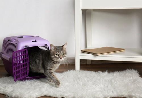 キャリーバッグから部屋に出る猫