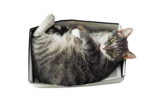 小さい箱に入る猫