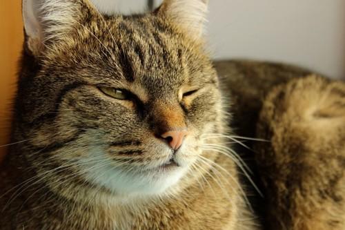 瞼を閉じる猫