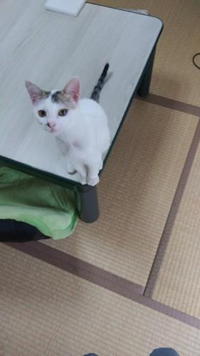 テーブルの上に猫