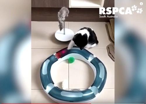 おもちゃで遊ぶ白黒猫