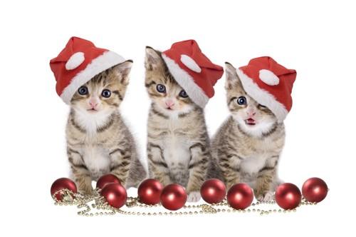 サンタ帽子をかぶった三匹の猫と足下に赤い実