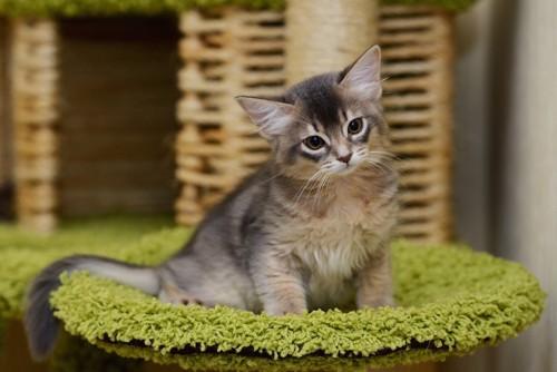 ベッドで首をかしげるソマリの子猫