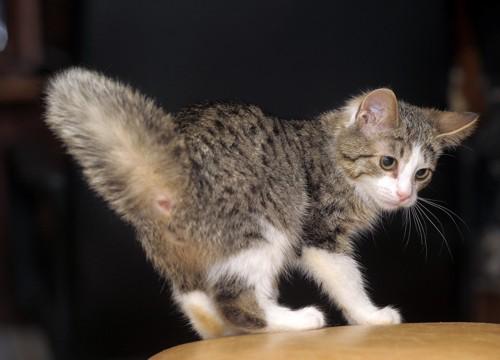 しっぽを振る猫