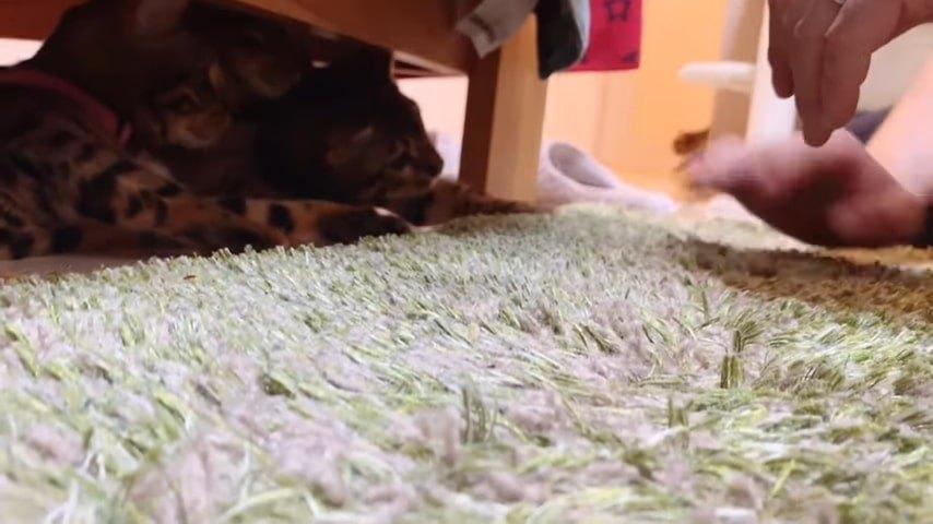 猫パンチをする3匹の子猫