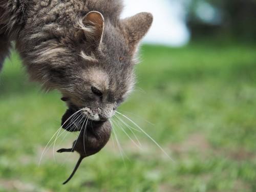 獲物を咥える猫