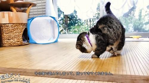 下を向いて遊ぶ猫
