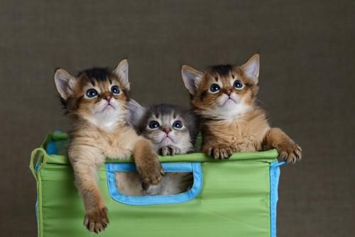 ソマリの子猫達