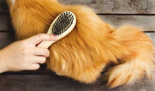 ブラシをされる長毛種の猫