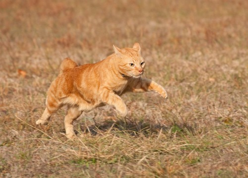 走るオレンジ色の茶トラ