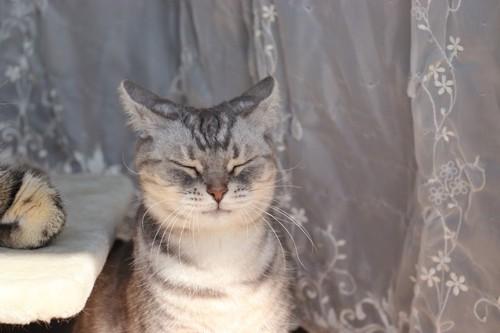 目をつぶってイカ耳のサバトラ