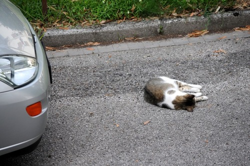 車の前に倒れている猫