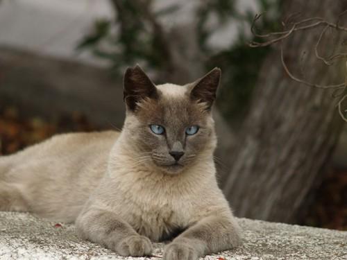 青い目の斜視猫