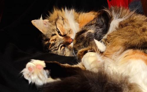 肉球が毛で覆われている猫