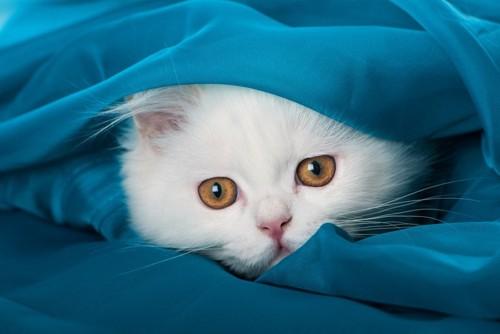 服の中に入る白猫