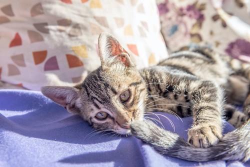 母猫のしっぽで遊ぶ子猫