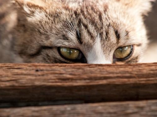 隠れている猫の目の写真