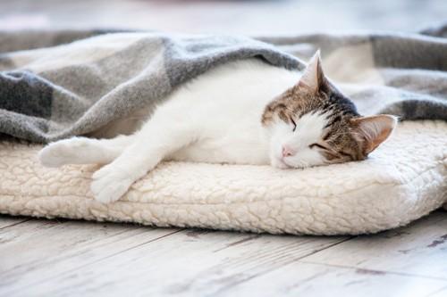 クッションで眠る猫