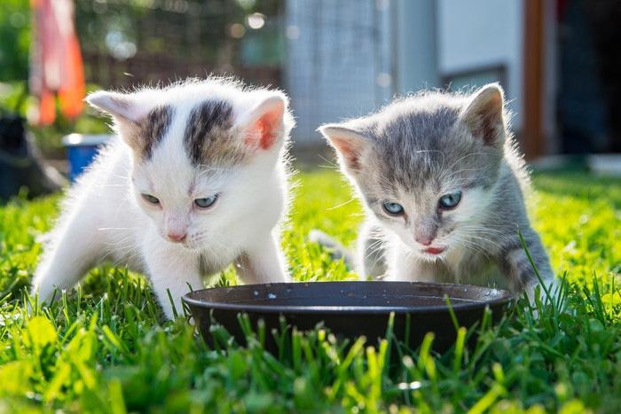 外でミルクを飲む2匹の子猫