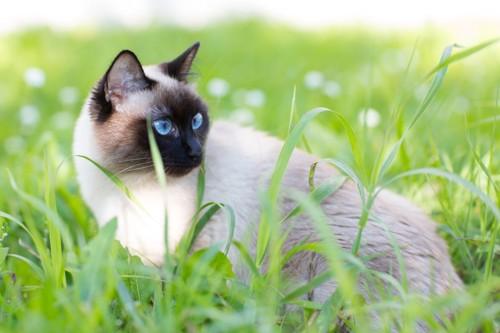 草原のシャム猫