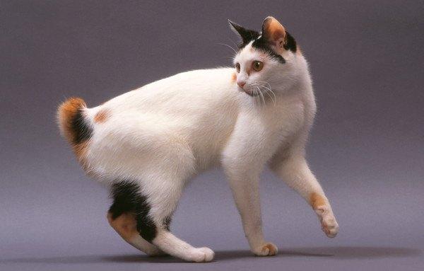 しっぽを見る三毛猫