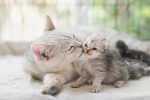 子猫にキスをする母猫