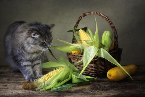 猫ととうもろこし