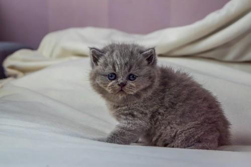 ベッグドの上のグレーのノルウェージャンフォレストキャットの子猫