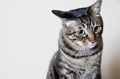 横を向くキジトラ猫