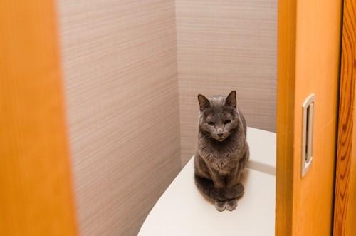 人用のトイレの上に座る猫