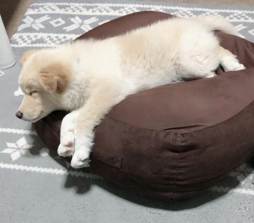 クッションで寝る子犬