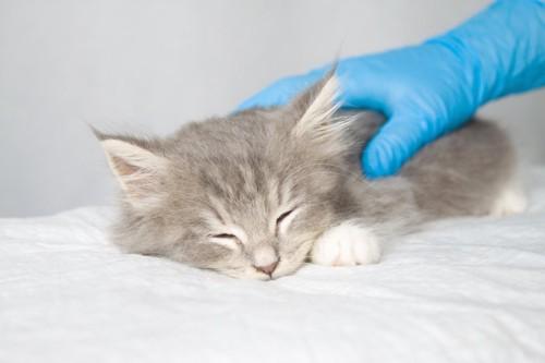 病院で獣医師に触られる子猫