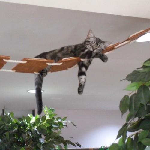 神戸の猫カフェ「ニャーニャの森」のショータ