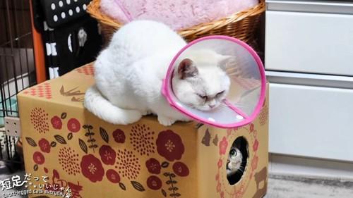 箱の中から上を見る猫