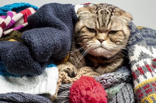 セーターに埋もれる猫