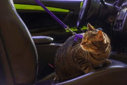 車内でリードのついた猫