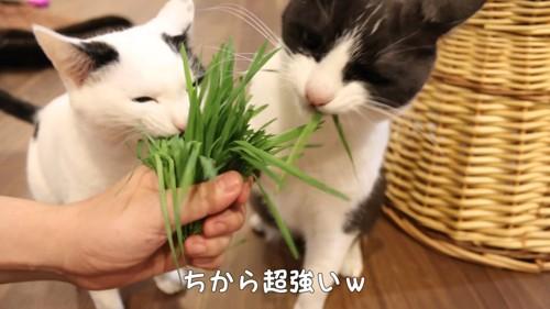 猫草を引っ張る白黒の猫2匹