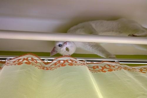 カーテンレールに登る猫