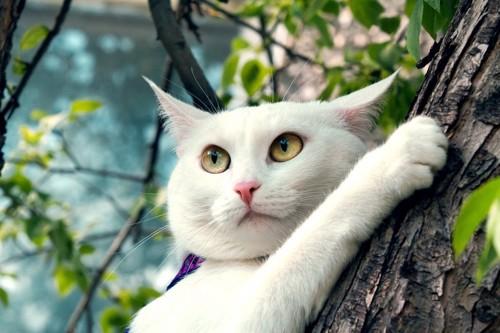 木に登る白猫