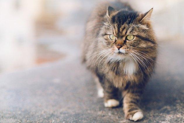 たくましそうな猫