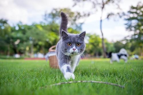 しっぽをピンと立てて歩く猫