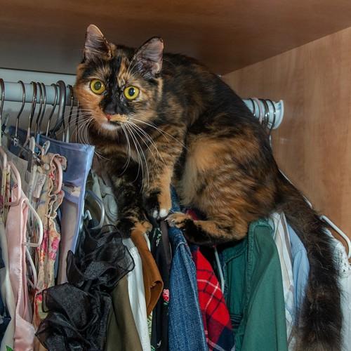 クローゼットのハンガーに乗るサビ猫